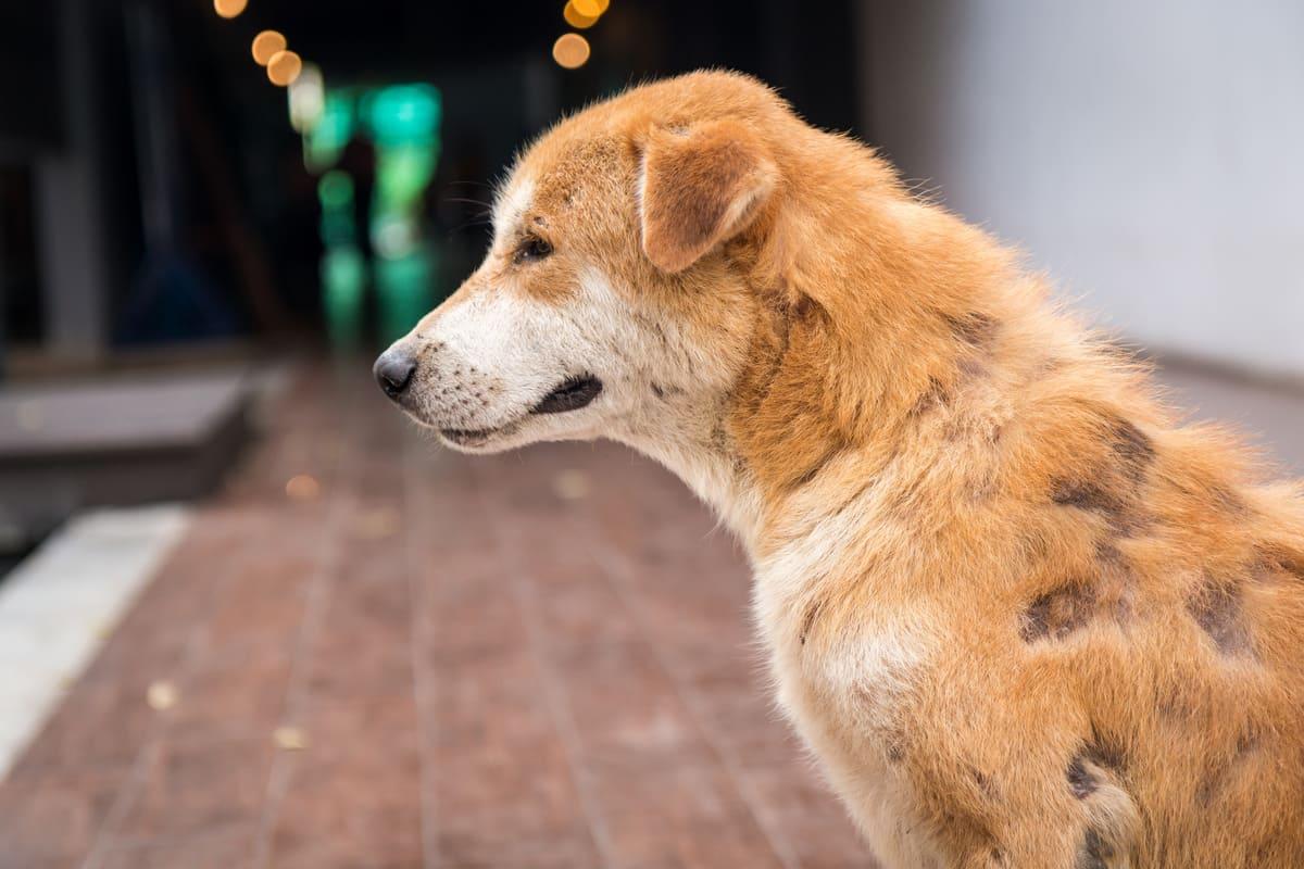 cbd dermatite chien